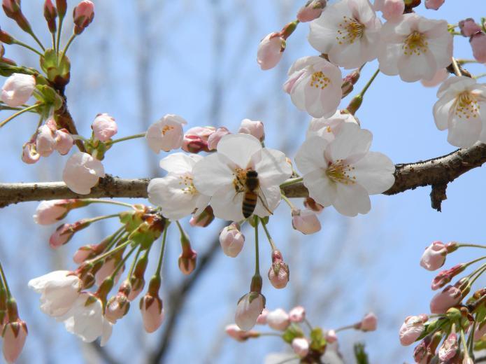 Почему вишня цветёт но не плодоносит что делать