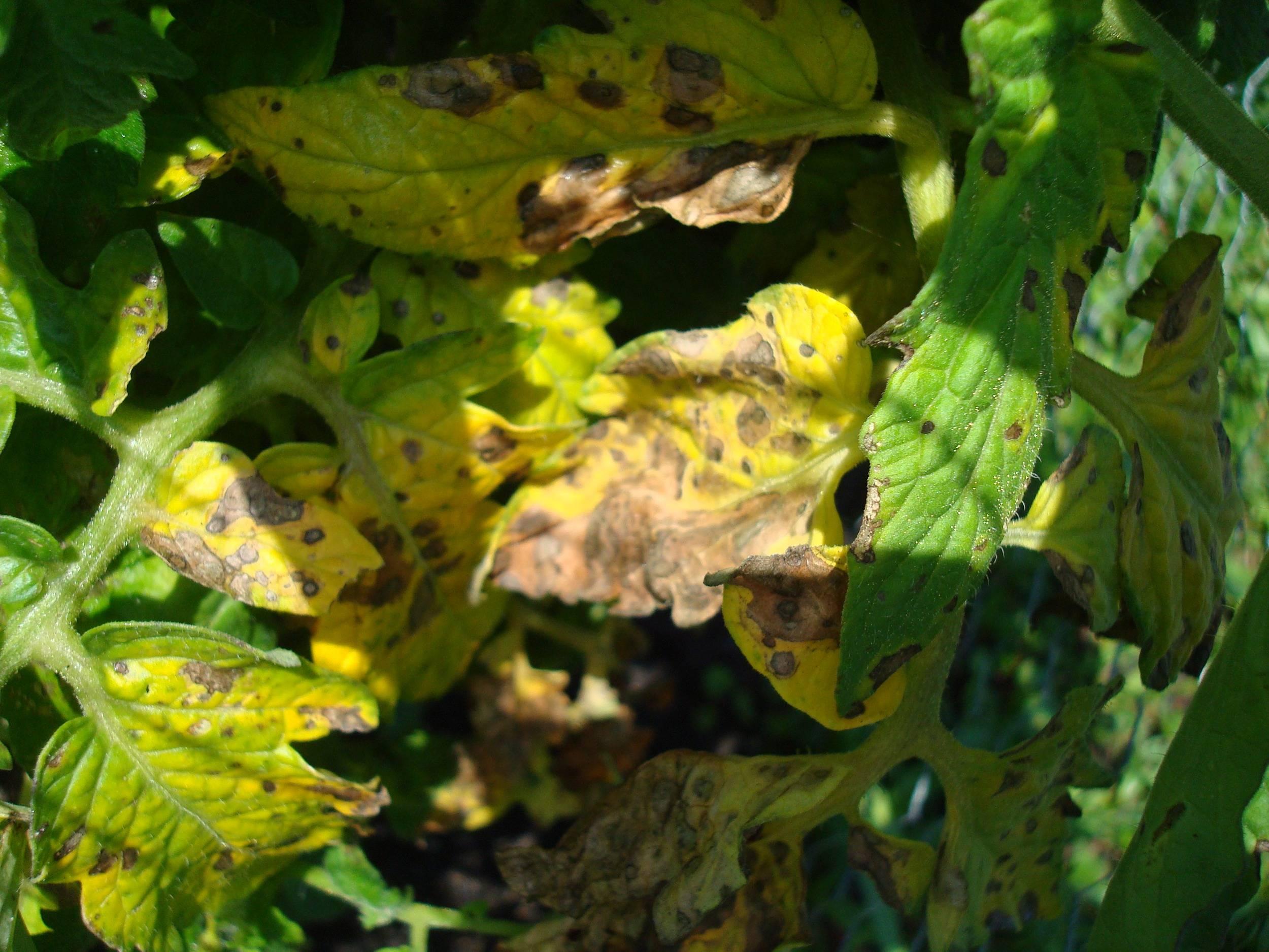 Почему желтеют нижние листья у свеклы фото что делать