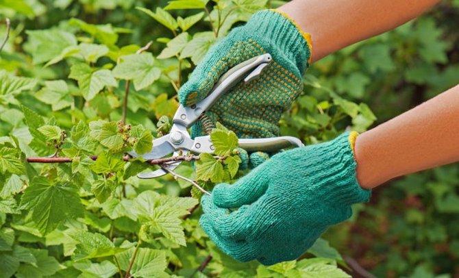 как обрезать смородину после сбора урожая
