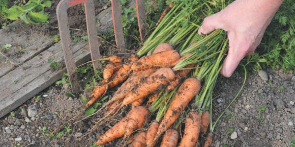 Время сбора урожая моркови