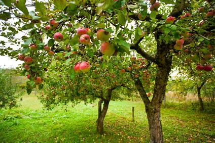 когда лучше сажать саженцы плодовых деревьев весной или осенью