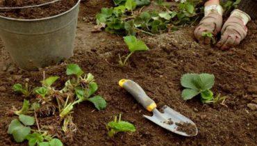 Когда пересаживать клубнику осенью, в каком месяце?