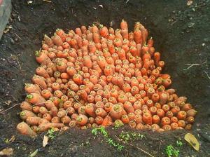 kak-hranit-morkov-v-yame