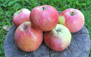 Apfelbaum Reifezeit