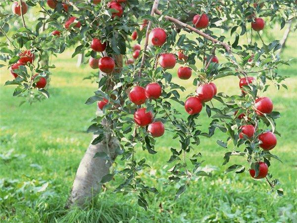 яблоко медуница фото и описание