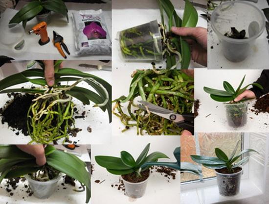 пересадка орхидеи в домашних условиях фото пошагово