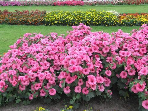 Фото цветка лаватера