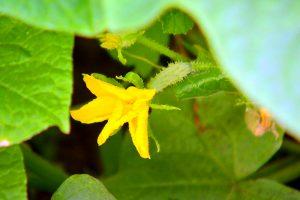 почему не растут огурцы в теплице завязи много а не растут