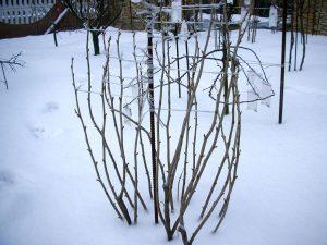 как подготовить малину к зиме в подмосковье