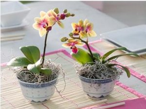 как пересадить орхидею в домашних условиях пошагово