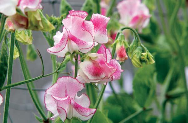 душистый горошек однолетний выращивание из семян