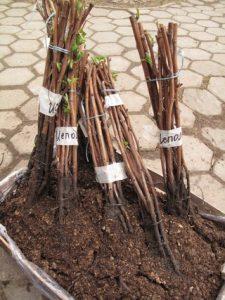 черенки винограда хранение зимой и проращивание весной