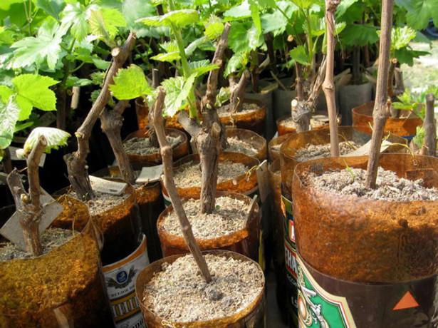 заготовка черенков винограда осенью и хранение