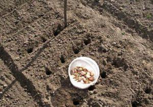 как подготовить грядку под чеснок для посадки осенью