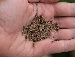Астра. Выращивание из семян. Когда сажать?