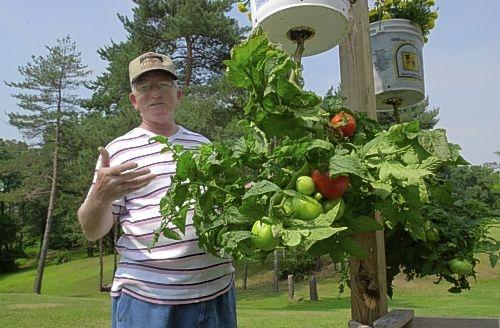 помидоры вверх ногами выращивание растений в перевернутом виде