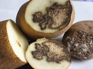Бурая гниль клубней картофеля