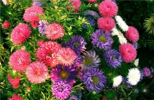 астра выращивание из семян в домашних условиях