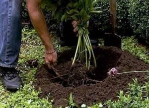 когда можно пересаживать пионы чтобы цвели на следующий год