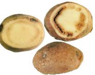 Кольцевая картофельная гниль