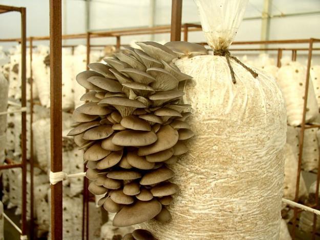выращивание вешенок в домашних условиях для новичков