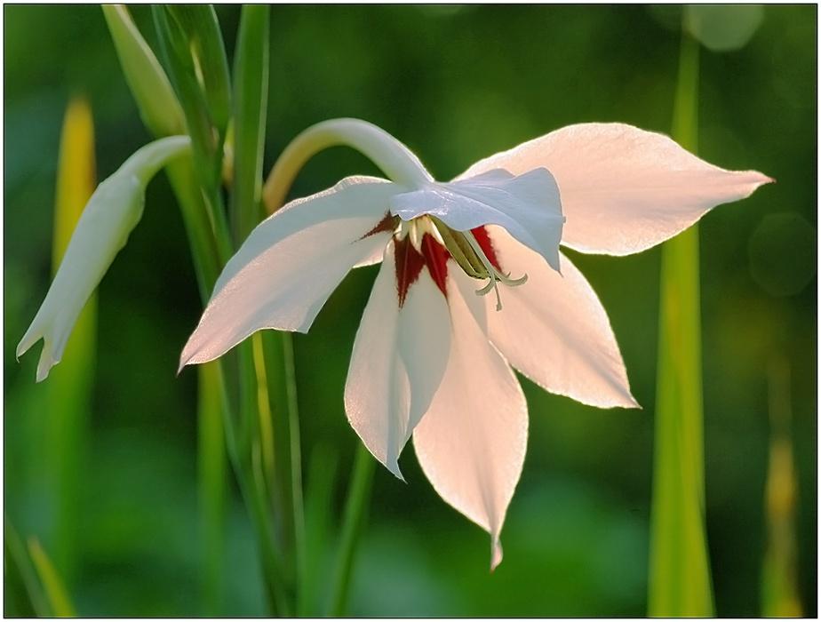 Цветы ацидантера выращивание и