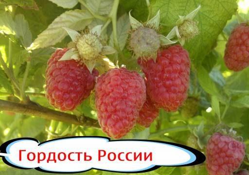 """Малина """"Гордость России"""" описание сорта отзывы"""