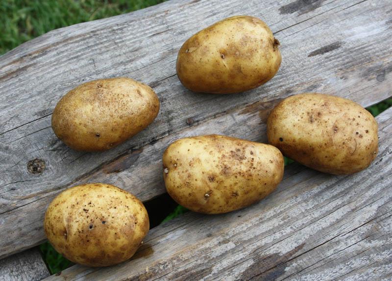 картофель удача описание сорта фото отзывы