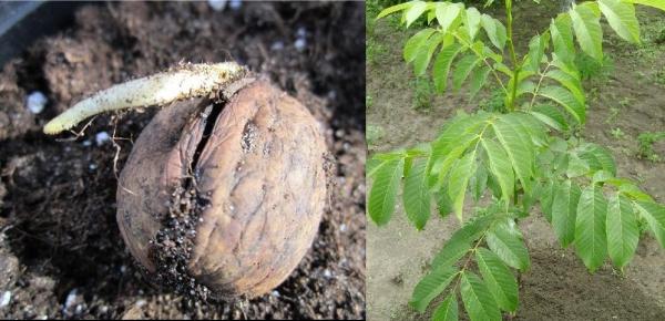 Как сажать орех фундук 755