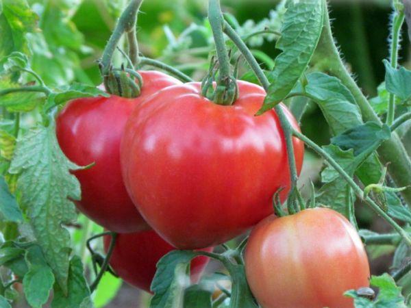 томат батяня характеристика и описание сорта