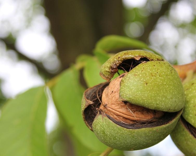 Грецкий орех в Подмосковье, выращивание