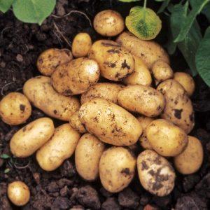 картофель тулеевский описание сорта фото