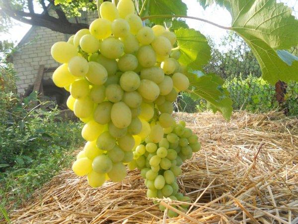 виноград лора описание сорта фото отзывы видео