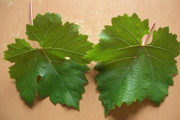 виноград триумф амурский описание сорта фото