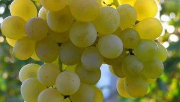виноград кристалл описание сорта фото отзывы