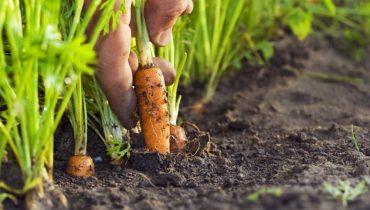 Когда сажать морковь под зиму в 2017 году в Подмосковье?