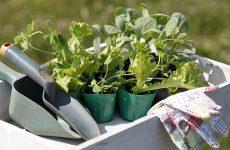 Когда сажать цветную капусту на рассаду в 2018 году по лунному календарю?
