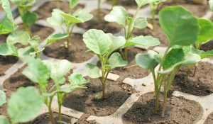 Когда сажать цветную капусту на рассаду в 405