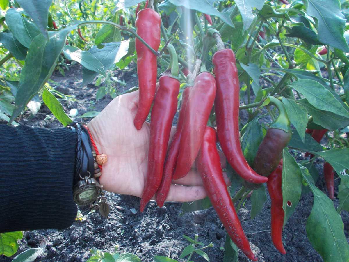 Выращивание горького перца на подоконнике в домашних условиях 75