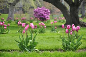 Особенности тюльпанов