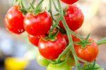 Миниатюра к статье Вырастим томат «Балконное чудо»