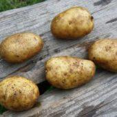 Миниатюра к статье Картофель сорта «Удача» — удачная находка для дачи