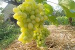 Миниатюра к статье Виноград «Лора» — раннее лакомство