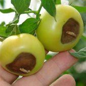 Миниатюра к статье Лечение вершинной гнили на помидорах