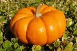 Миниатюра к статье Тыква: выращивание в открытом грунте