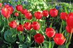 Миниатюра к статье Посадка тюльпанов: как и когда сажать луковицы?