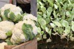 Миниатюра к статье Выращиваем рассаду цветной капусты