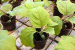 Миниатюра к статье Технология посева семян баклажан на рассаду в [year] году