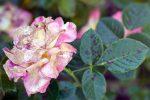Миниатюра к статье Болезни роз, признаки и лечение