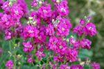 Миниатюра к статье Посейте маттиолу — впустите в свой сад аромат